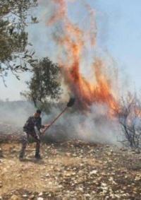 حريق يلتهم 150 شجرة زيتون غرب جنين
