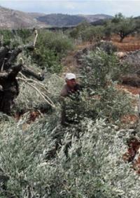 مستوطنون يقطعون 15 شجرة زيتون مثمرة غرب سلفيت