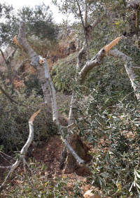 الاحتلال يقتلع 60 شجرة زيتون في سلفيت ويجرف مساحات واسعة من أراضيها