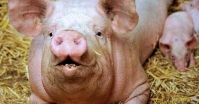 زراعة كلية خنزير في جسم إنسان