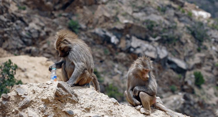 قطعان من القردة تثير قلق سكان منطقة في السعودية