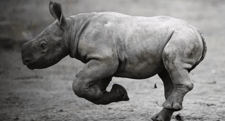 """أنثى وحيد القرن تضع مولودتها """"البيضاء النادرة"""""""