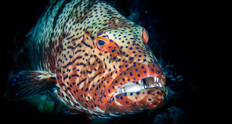 """سمكة قرش تتحول إلى """"لقمة صغيرة"""" بفم هامور عملاق"""